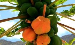 Papaias