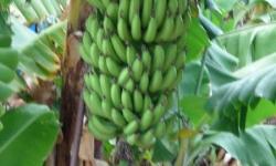 Banánfa