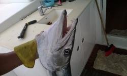 cuba-barracuda