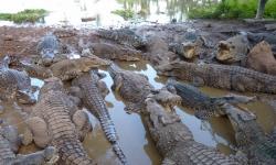 kuba-krokodil-farm